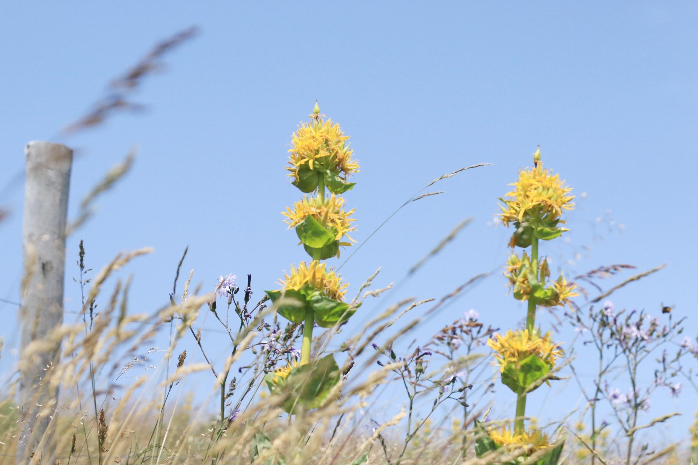 Fleurs-Gentianne