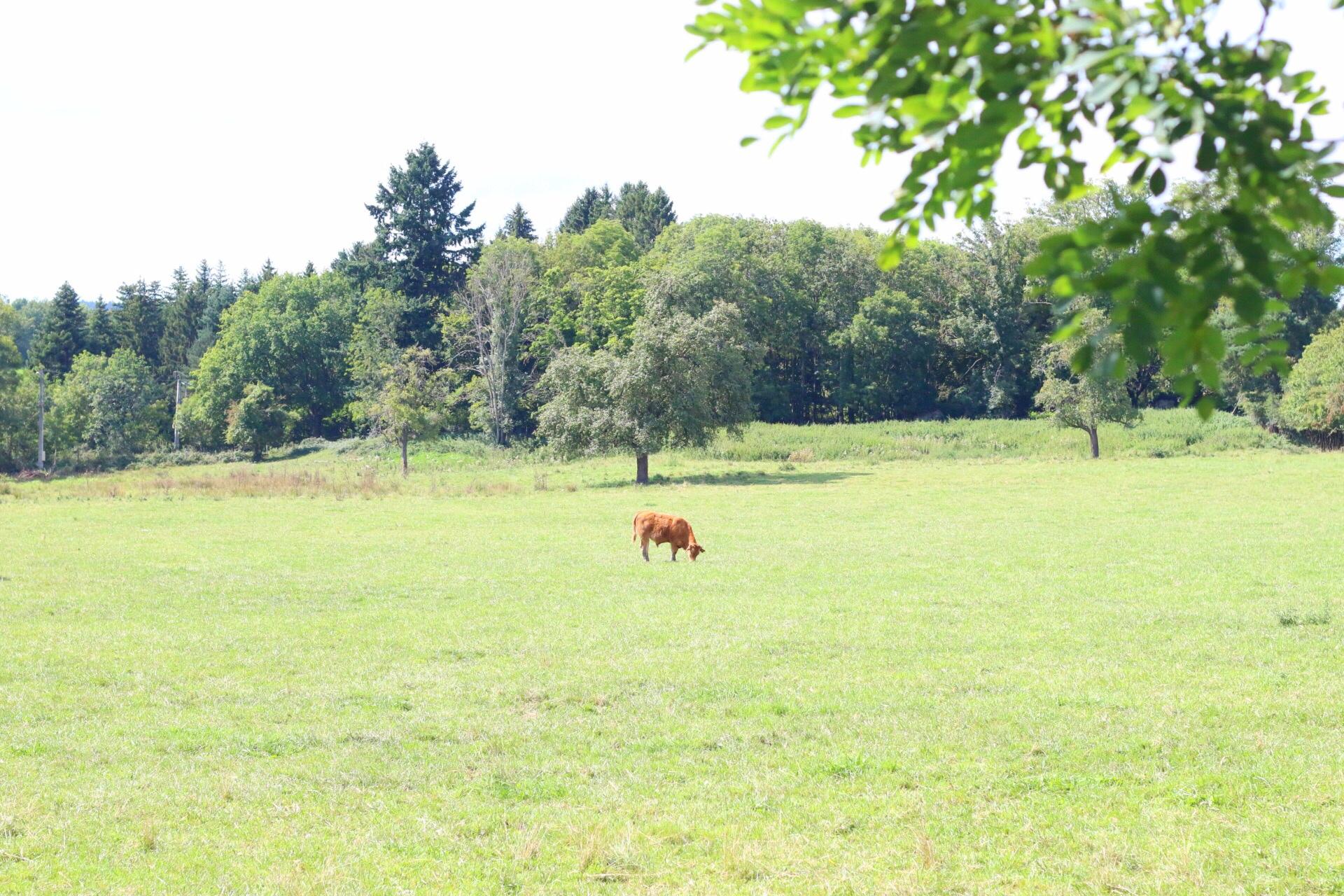 vaches-gour-de-tazenat