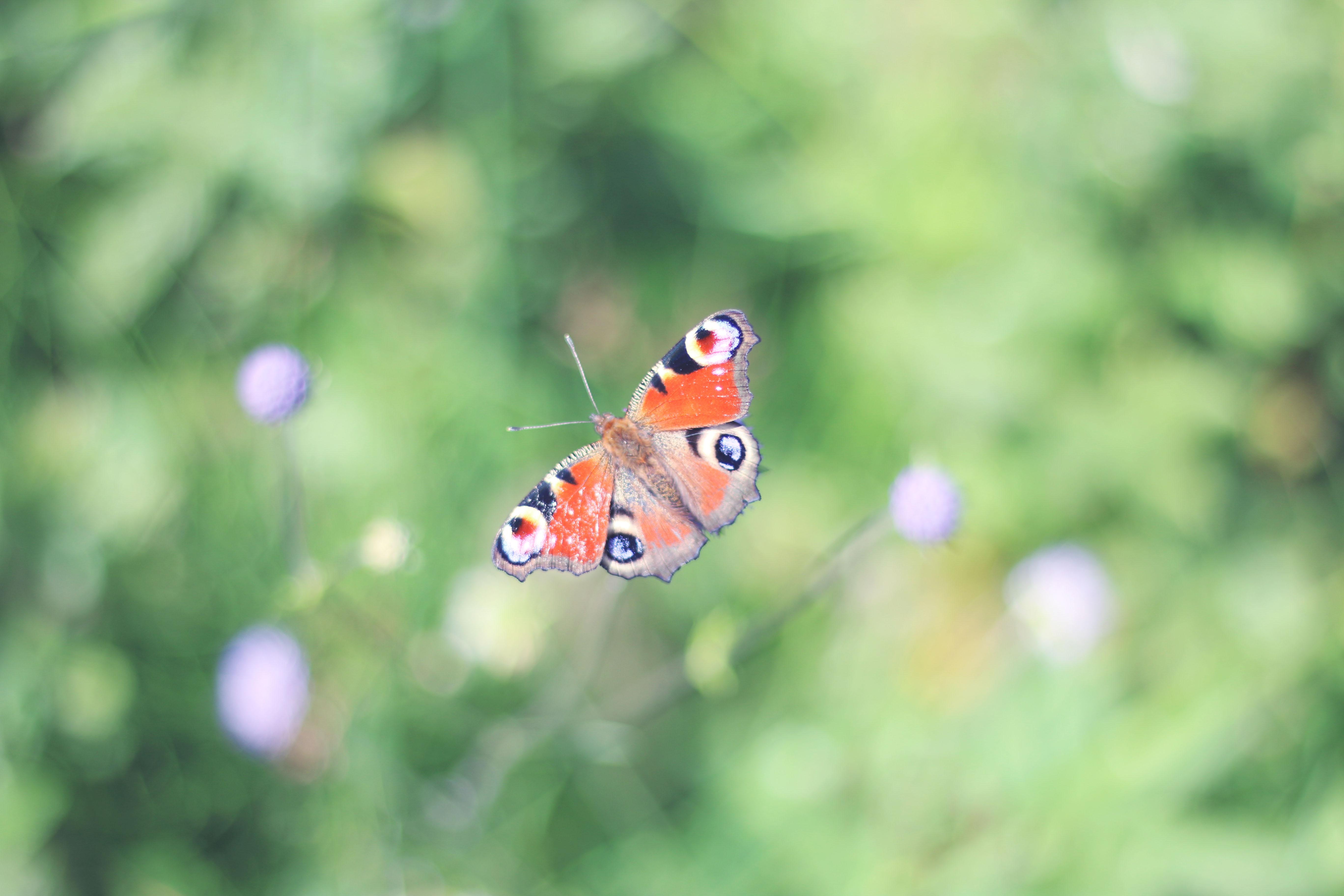 auvergne-papillon