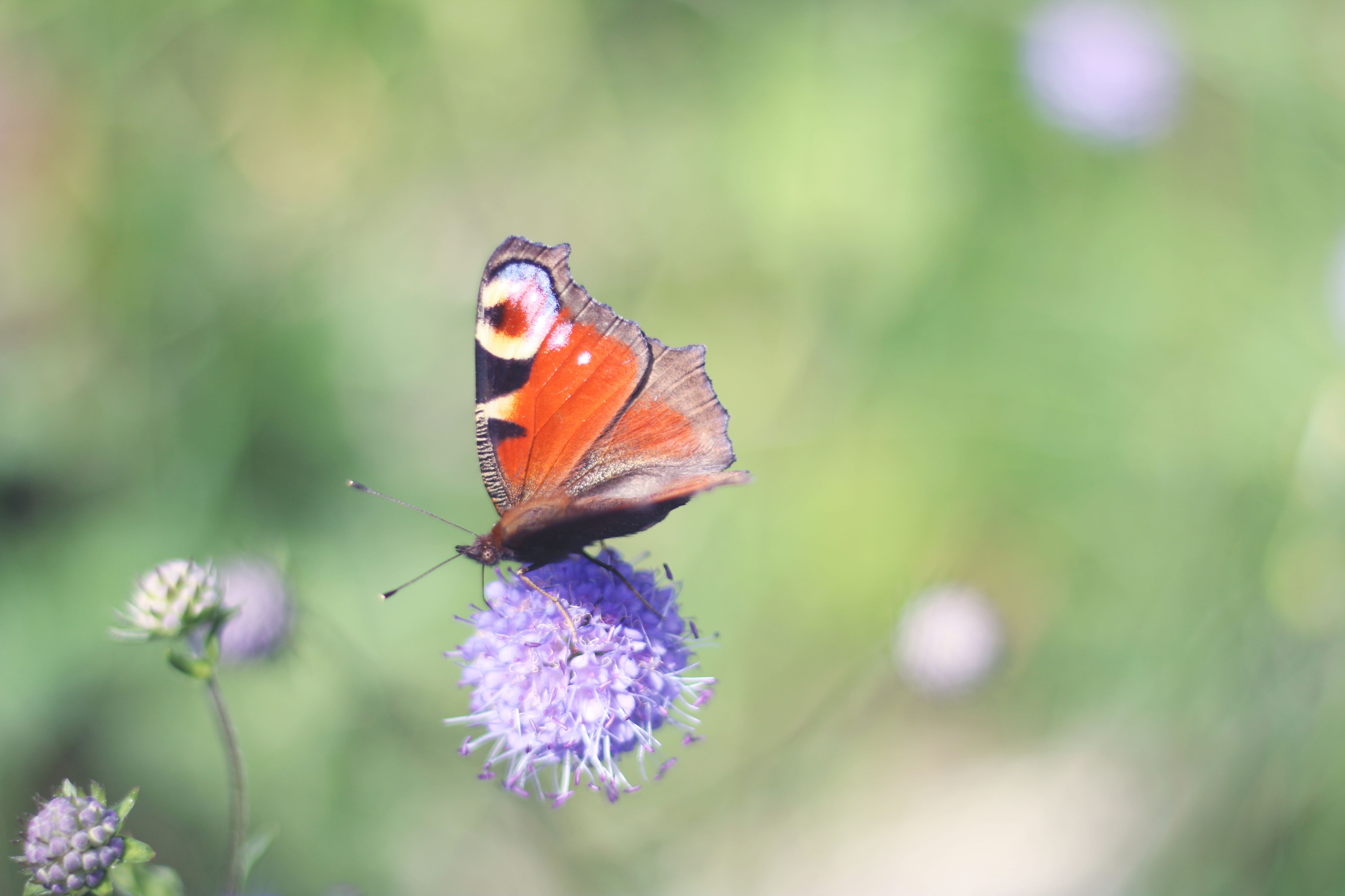 papillon-auvergne-guery