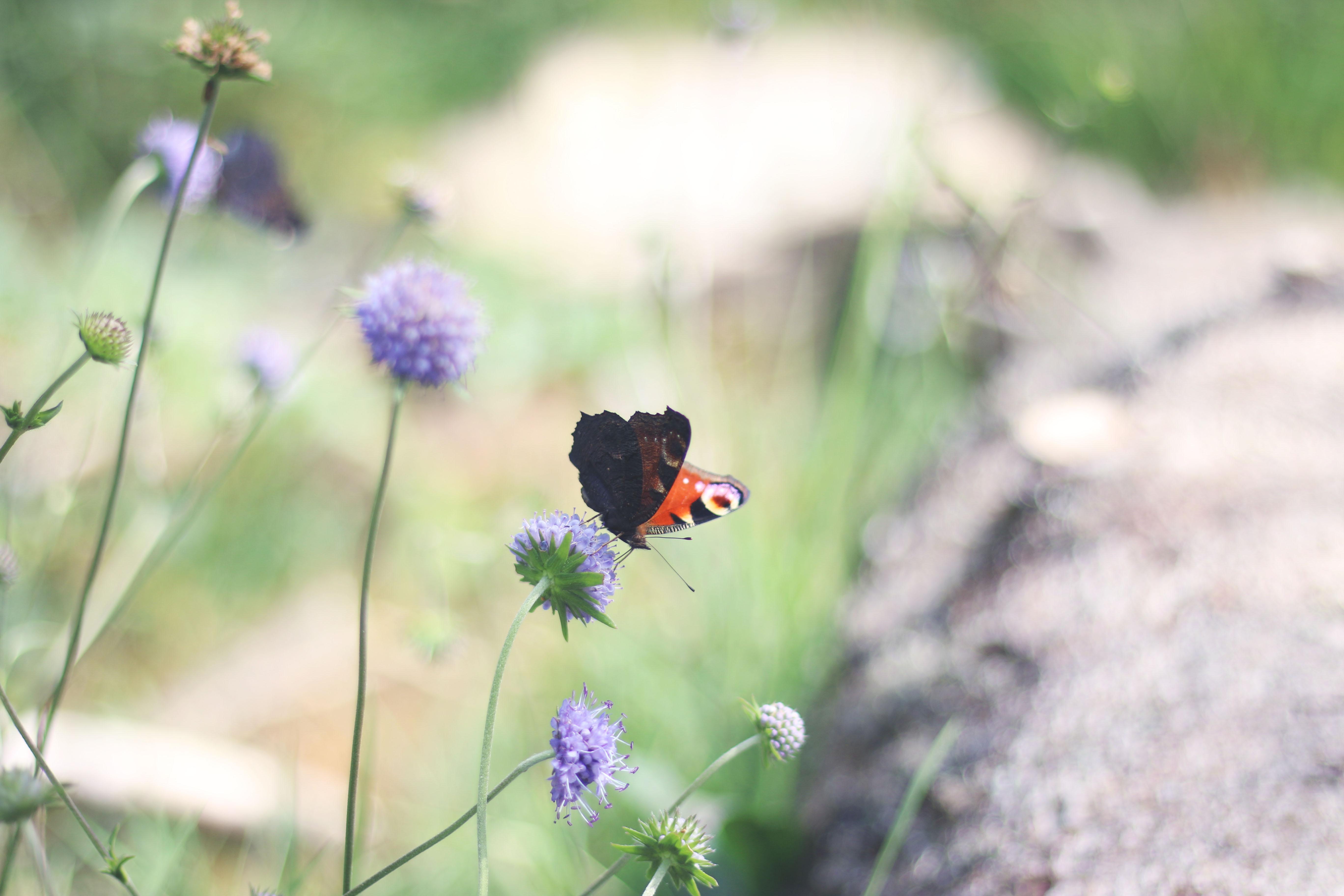 papillon-auvergne